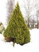 pic of juniper-tree  - Juniper beautiful large green outdoors in winter - JPG