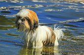 foto of dog breed shih-tzu  - Shih Tzu dog standing in the water by day - JPG