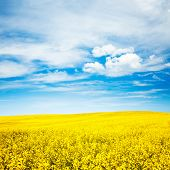 picture of rape-field  - Summer Landscape with Rape Field on the Background of Beautiful Sky - JPG