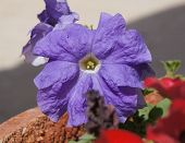 picture of petunia  - Beautiful flower of petunia plant in violet color - JPG