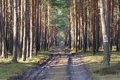 image of penetration  - The photograph shows the tall pine forest which crosses the dirt - JPG