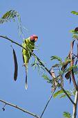 picture of parakeet  - Psittacula cyanocephala - JPG