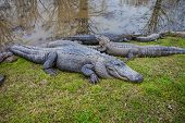 pic of alligator  - This is a photograph of Alligators on land - JPG