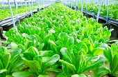 picture of hydroponics  - Cos Lettuce Romaine Lettuce hydroponics vegetable farm in Thailand - JPG