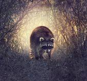 stock photo of wetland  - Wild Raccoon In Florida Wetlands At Sunset - JPG