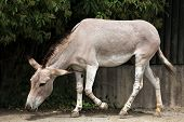 pic of wild donkey  - Somali wild ass  - JPG