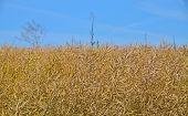 foto of rape-field  - Field of ripe mature colza rape plant under bright day blue sky - JPG