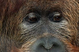 picture of orangutan  - Cross hybrid of the Sumatran orangutan  - JPG