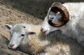 picture of coitus  - Sheepish Love - JPG