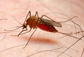 picture of gnats  - Anopheles mosquito  - JPG