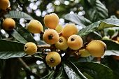 Tropical Fruit, Loquat Also Called Nispero, Tree With Ripe Fruit Ready For Picking poster