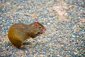 Agouti Rodent Or Rat Animal With Reddish Hair Sitting And Holding Food In Fore Paws On Grey Stones I poster