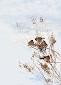 stock photo of winter scene  - winter scenery with bullfinches - JPG