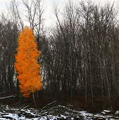 Lone Birch Tree With Bright Orange Leaves - Standing Out, Determination, Survival Concept poster