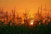 photo of sunset in cornfield
