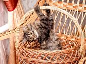 A Small Striped Playful Cat In A Wicker Basket Clinging For A Basket Handle. A Kitten Is Played In A poster