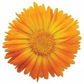 Calendula Officinalis L. Single Flower Head, Orange Yellow Golden Isolated Ruddles Common Pot Scotch poster