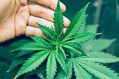 Planting Cannabis. Home Grow Legal Recreational Weed. Marijuana Flower Indoor Growing. Northern Ligh poster