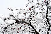 stock photo of apple tree  - frozen apple tree - JPG