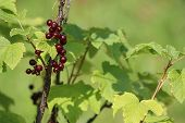 Redcurrant On Bush Branch. Red Currant On Bush. Red Currant In Garden. Summer Berries In Latvia. poster