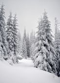 picture of winter trees  - Winter trees in mountains covered with fresh snow - JPG