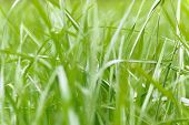 Grass Texture. Fresh Green Spring Grass With Dew Drops Background, Closeup. Soft Focus. Abstract Nat poster