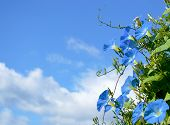 foto of ipomoea  - Blue flowers ipomoea against the blue sky - JPG