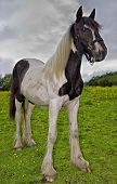 picture of fillies  - Portrait of a Yearlingshire X Gypsy Cob Filly - JPG