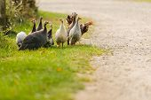 picture of guinea fowl  - A group of guinea fowl and chicken feeding in bright sunlight