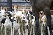 stock photo of bloodhound  - A pack of hunting hounds stand at the ready beneath the hunt masters horse - JPG