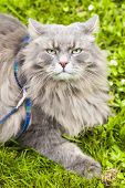 stock photo of bestiality  - Big gray cat with long hair ready to attack - JPG