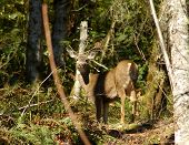 picture of blacktail  - blacktail doe - JPG