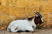 pic of pygmy goat  - African pygmy goat resting against textured wall - JPG