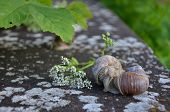 pic of hermaphrodite  - Couple of Burgundy snails on a wall in an intimate situation - JPG