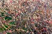 picture of twisty  - a creepy thorn bush with a lot of prickly spikes - JPG