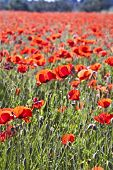 stock photo of impressionist  - colorful red poppy flowers in the meadow in beautiful impressionistic light - JPG