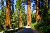 stock photo of girth  - the famous big sequoia trees are standing in Sequoia National Park - JPG