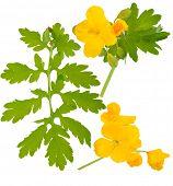 stock photo of celandine  - Medicinal plant - JPG