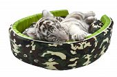image of white tiger cub  - baby white tiger laying in a mattress isolated on white background - JPG
