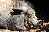 stock photo of pot-bellied  - A Pot Belly Pig having a nap - JPG