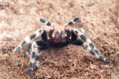 image of terrarium  - Ngandu Chromatus Tarantula in terrarium background  - JPG