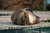 picture of sea lion  - Sea  - JPG