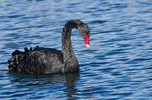 image of black swan  - A Black Swan Swimming in Blue Water - JPG