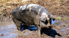image of sluts  - pig who has just taken a mud bath, a photo taken on a farm in Denmark