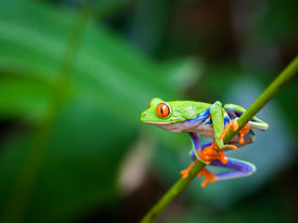 picture of cute frog  - Red eye frog on a branch in the forest - JPG