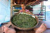 stock photo of mulberry  - Thai woman farmer showing silkworm caterpillars livestock feeding on mulberry tree leaves - JPG