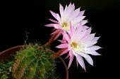 stock photo of rare flowers  - Flower from cactus which is blossom only for a day on black background - JPG