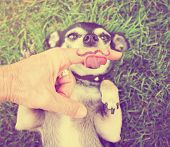 image of finger-licking  -  a cute chihuahua licking a mustache finger in front of him done with a retro vintage instagram filter  - JPG