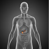 foto of endocrine  - The pancreas is a glandular organ in the digestive system and endocrine system of vertebrates - JPG