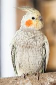 picture of cockatiel  - The cockatiel  - JPG